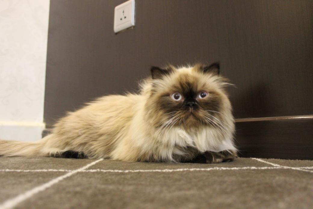 للبيع قطط هملايا بيكي فيس بالرياض P_5076h3tr1